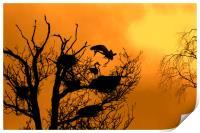 Grey Heron Landing on Nest at Sunset, Print