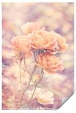 Rosa Sweet Dream (AGM) Vintage, Print