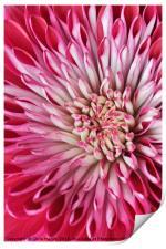 Red Chrysanth, Print