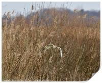 Short Eared Owl Hunting for Lunch!, Print