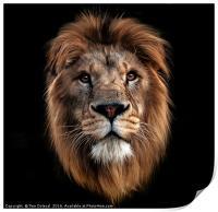 Lion portrait, Print
