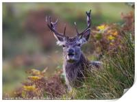 Stag in the ferns, Print