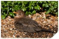 Sunning blackbird, Print