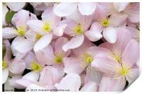 Clematis Montana Flowers in Bloom, Print
