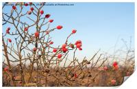 Winter Berries, Print