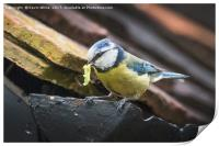 Blue Tit nesting in shed, Print