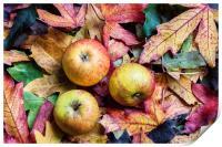 Apples on autumn leaves., Print