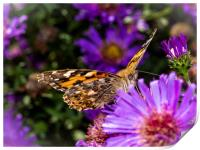 The Eye of the Painted Lady (Vanessa Cardui), Print