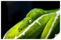 Green Tree Python, Print
