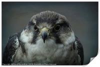 Peregrine Falcon                , Print