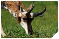 Pronghorn Antelope Portrait, Print