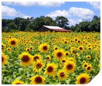 Sunflowers with Barn in Distance, Print