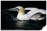 Gannet all at Sea, Print