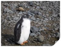 Gentoo penguin chick at Brown Bluff, Print