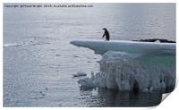 Adelie penguin on an iceberg, Print