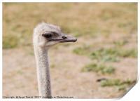 closeup head ostrich outdoors, Print