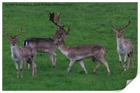 Wild Fallow buck deers in Somerset Uk , Print
