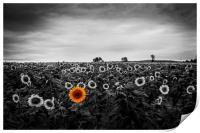 A field of sunflowers, Print