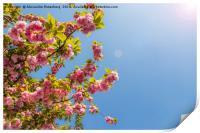 Cheerry Bloosoom Sakura , Print