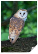 Barn Owl juvenile in mature oak tree, Print