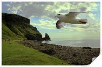 Fulmar flying at Talisker Bay, Print
