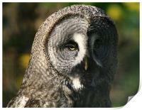 Great Grey Owl, Print