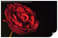Water Drops On Rose, Print