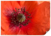 Red Poppy, Print