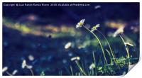 Daisies illuminated by the sun, Print