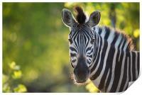 Zebra stare, Print