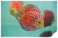 Aquarium Orange Spotted Fish Cicus , Print