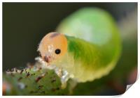 Grass sawfly caterpillar, Print
