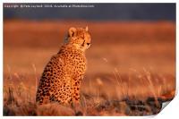 Cheetah Sunset, Print