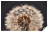 Close up of a Dandelion head., Print