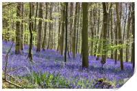 Queen's Wood Bluebells, Cheltenham, Print