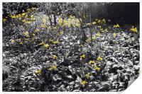 Field of Daffodils, Print