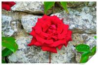 Single Red Rose on Wall, Print