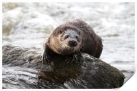 Otter in the river (Aberdeen, Scotland), Print