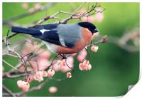 Bullfinch with pink berries, Print