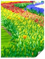 Rainbow of tulips at Keukenhof garden, Print