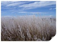 Snow covered patch of weeds, Print