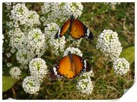 Two butterflies on a white flower... , Print