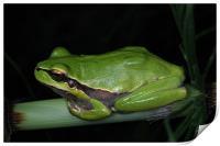 Tree Frog , Print
