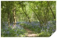 Bluebells Belhus Woods, Print