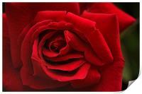 Red Rose, Print