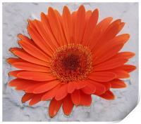 Orange Gerbera , Print