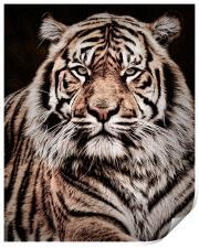 Sumatran Tiger Portrait, Print