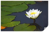 Waterlily , Print