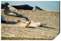 Seals on a Norfolk beach, Print
