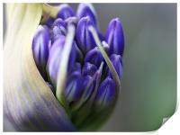 Agapanthus - Macro Bloom, Print